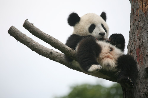 National Panda Day