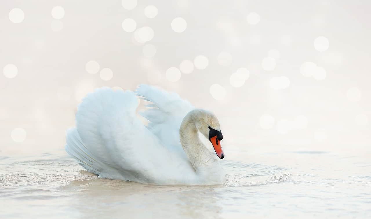 National birds day,                 swan white nature