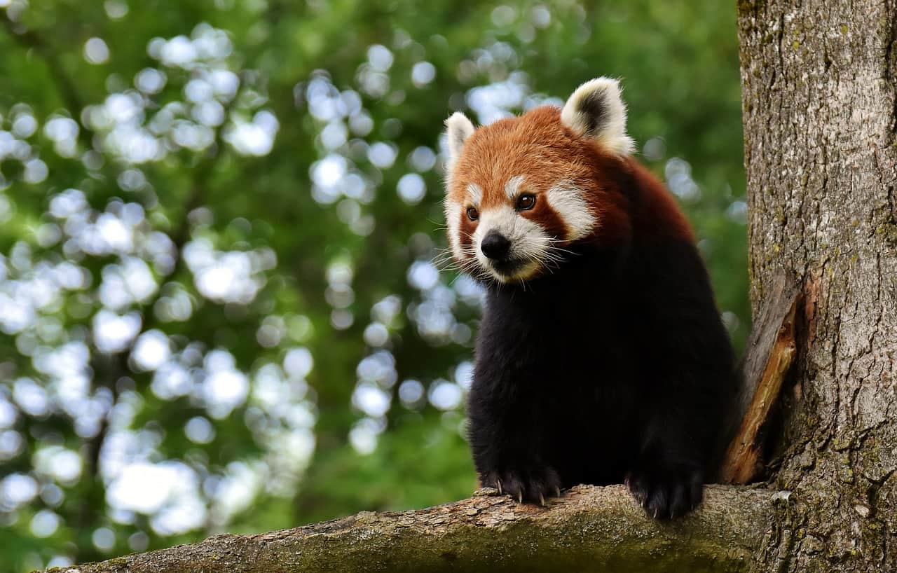 National  day, panda red panda bear cat