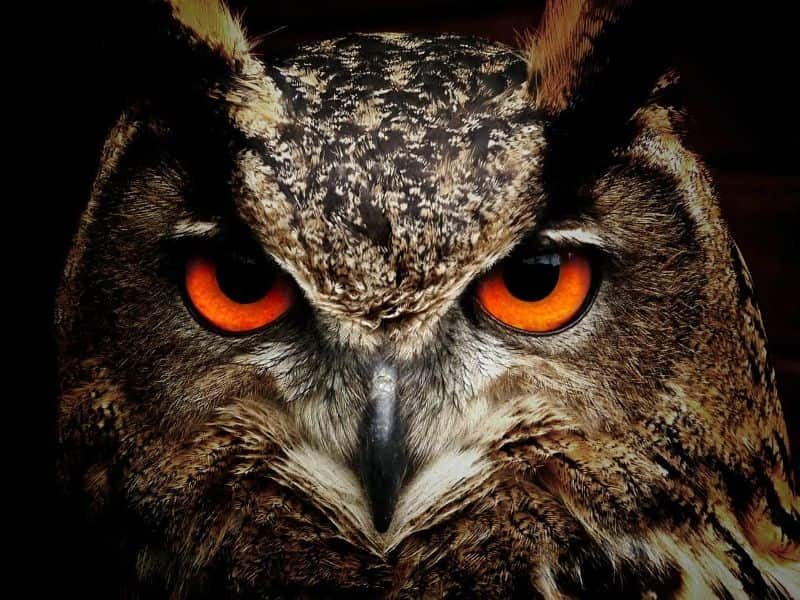 bird owl bird eyes