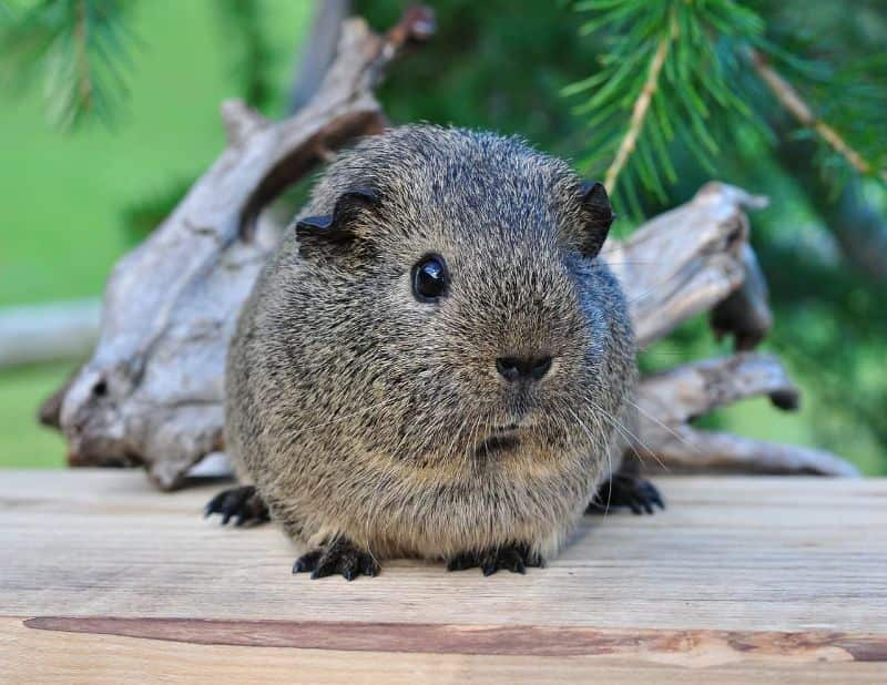 National guinea-pig day,                 pig rodent animal