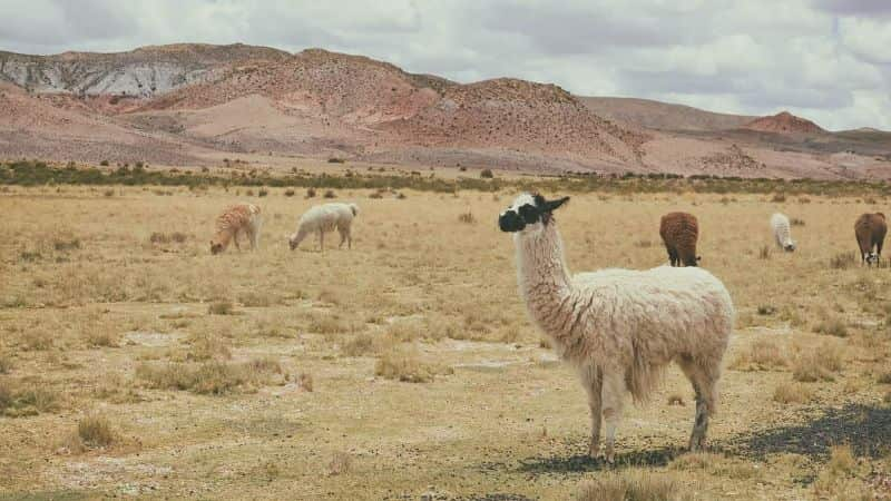 National llama day,                 alpaca animals grass