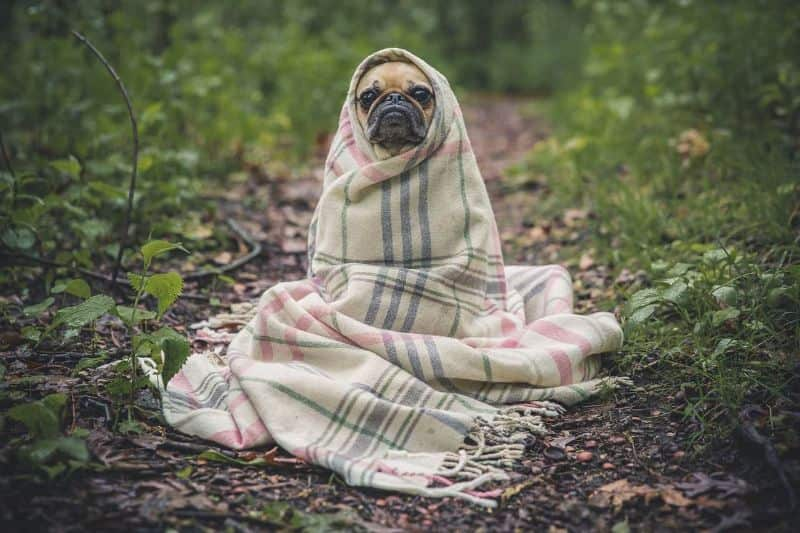 National pug day,                 pug dog pet                pug dog blanket                dog pug puppy