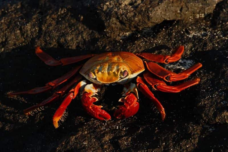 National sally day,                 crab sally lightfoot crab red